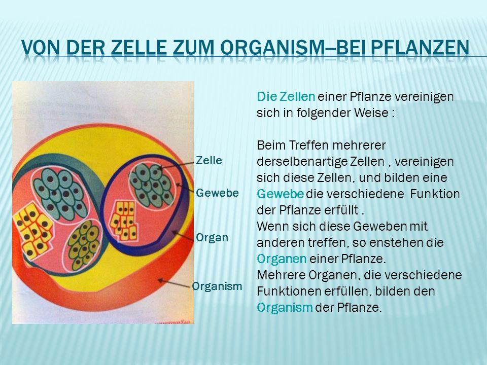 Von der zelle zum organism--bei Pflanzen