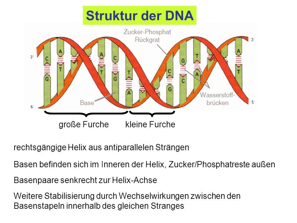 Struktur der DNA große Furche kleine Furche