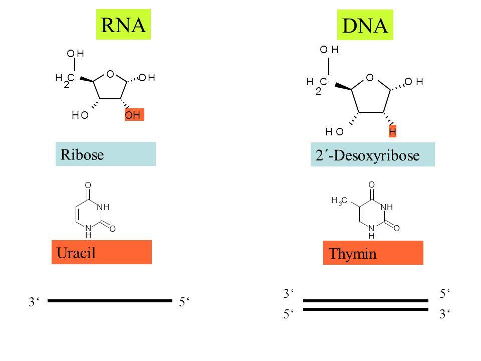 RNA DNA Ribose 2´-Desoxyribose Uracil Thymin 3' 5' 3' 5' O H C 2 O H