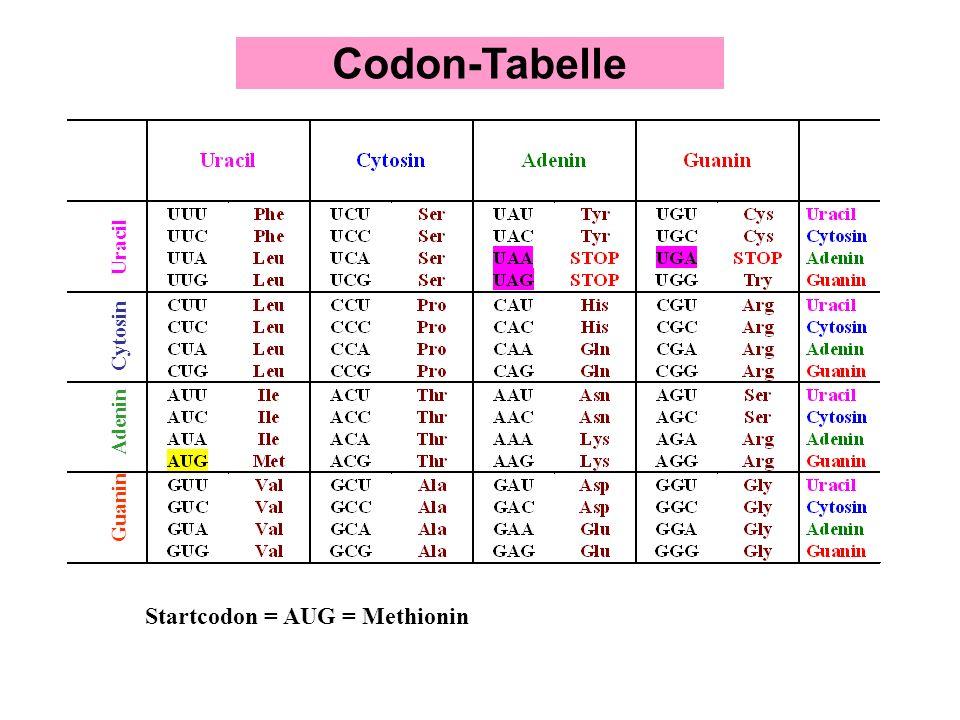 Codon-Tabelle Startcodon = AUG = Methionin Uracil Cytosin Adenin