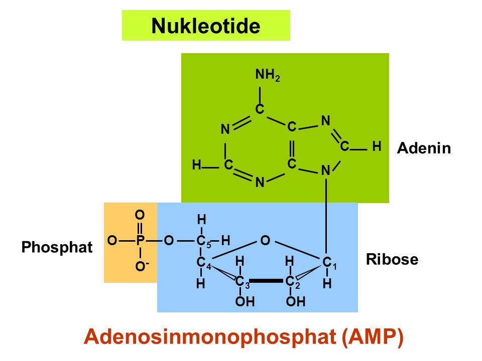 Adenosinmonophosphat (AMP)