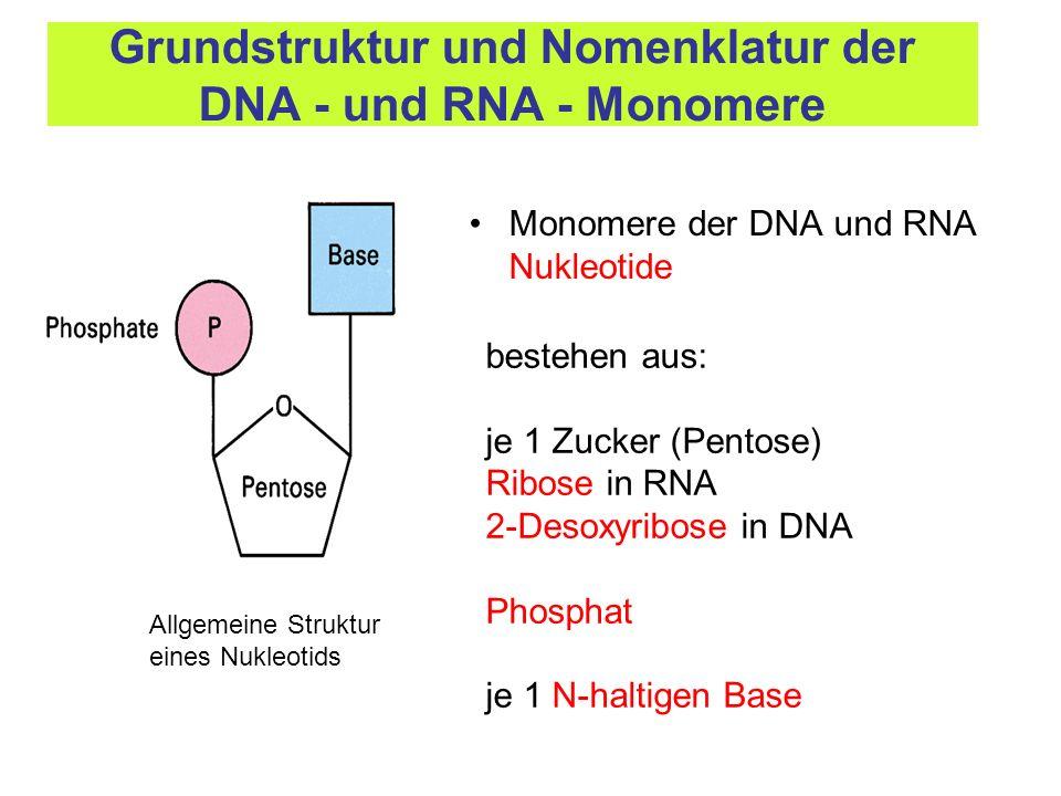 Grundstruktur und Nomenklatur der DNA - und RNA - Monomere
