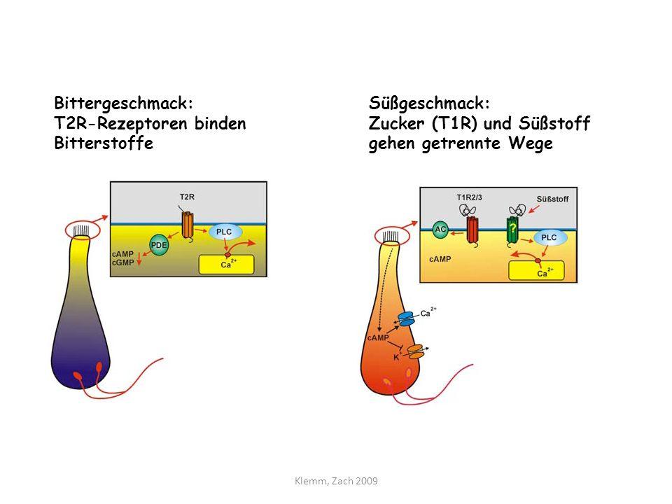 T2R-Rezeptoren binden Bitterstoffe Süßgeschmack: