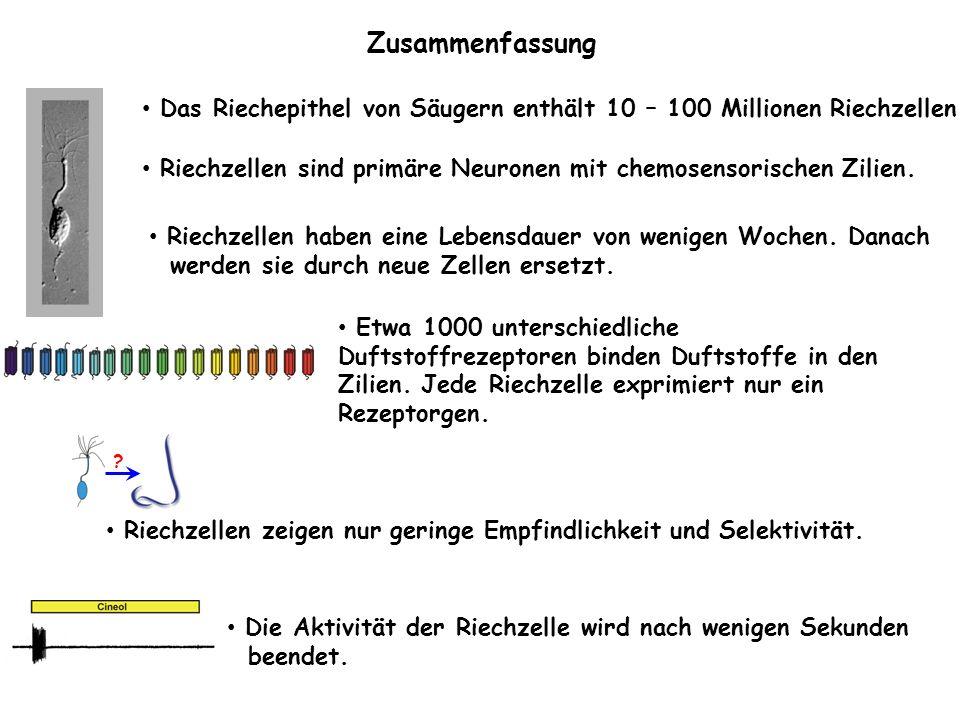 Zusammenfassung Das Riechepithel von Säugern enthält 10 – 100 Millionen Riechzellen. Riechzellen sind primäre Neuronen mit chemosensorischen Zilien.