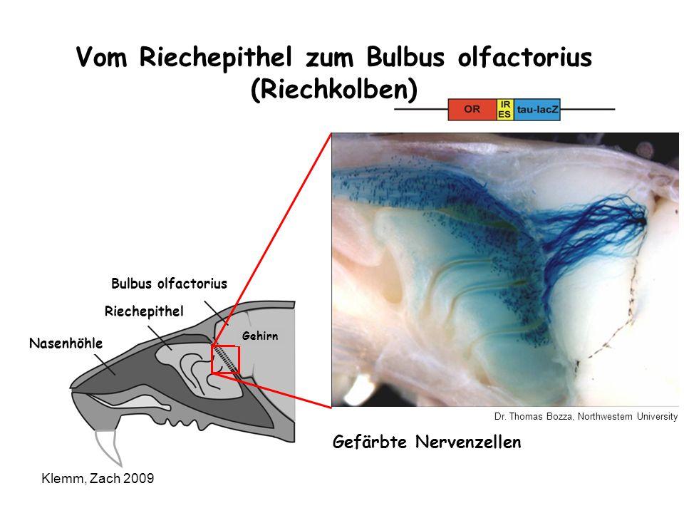 Vom Riechepithel zum Bulbus olfactorius (Riechkolben)
