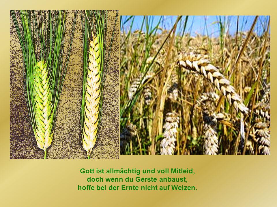 Gott ist allmächtig und voll Mitleid, doch wenn du Gerste anbaust, hoffe bei der Ernte nicht auf Weizen.