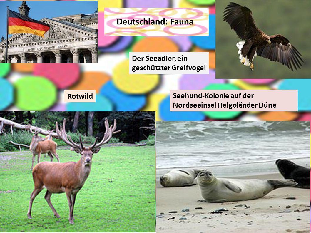Deutschland: Fauna Der Seeadler, ein geschützter Greifvogel Rotwild