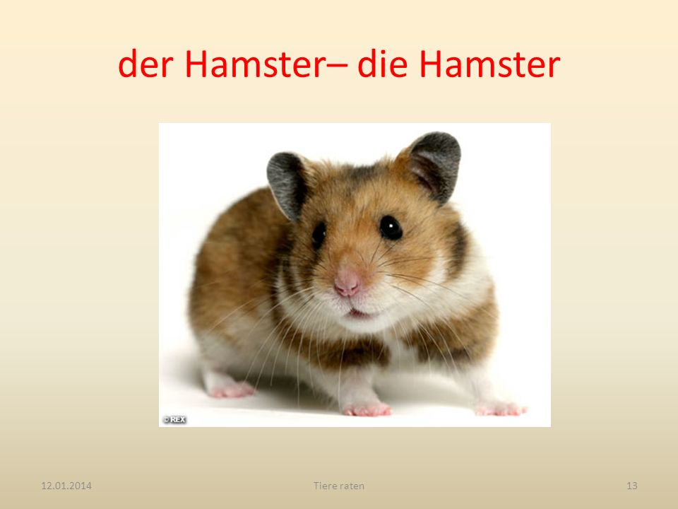 der Hamster– die Hamster
