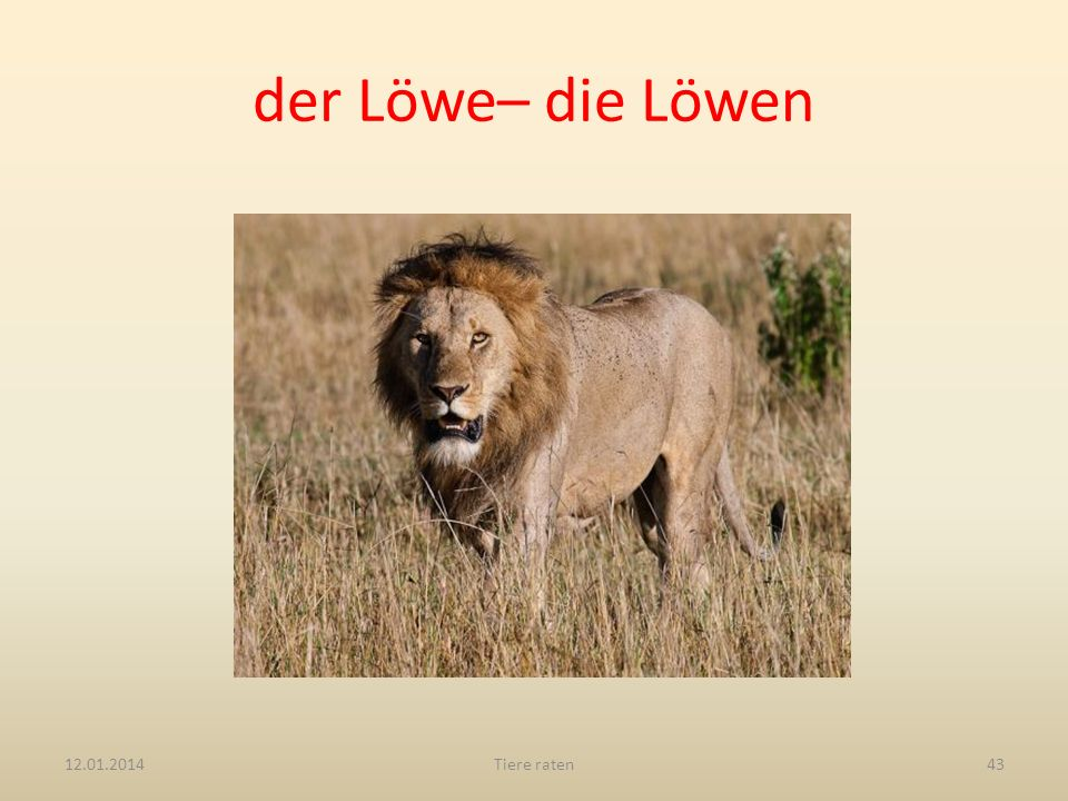 der Löwe– die Löwen 27.03.2017 Tiere raten