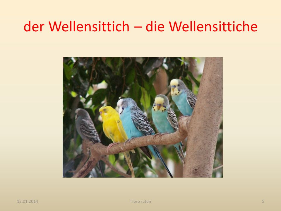 der Wellensittich – die Wellensittiche
