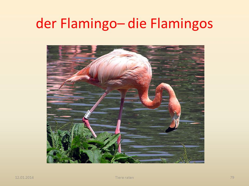 der Flamingo– die Flamingos