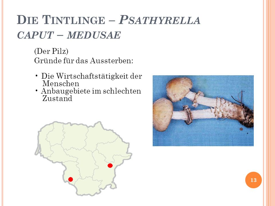 Die Tintlinge – Psathyrella caput – medusae