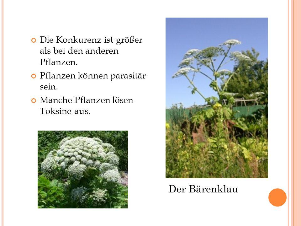 Der Bärenklau Die Konkurenz ist größer als bei den anderen Pflanzen.