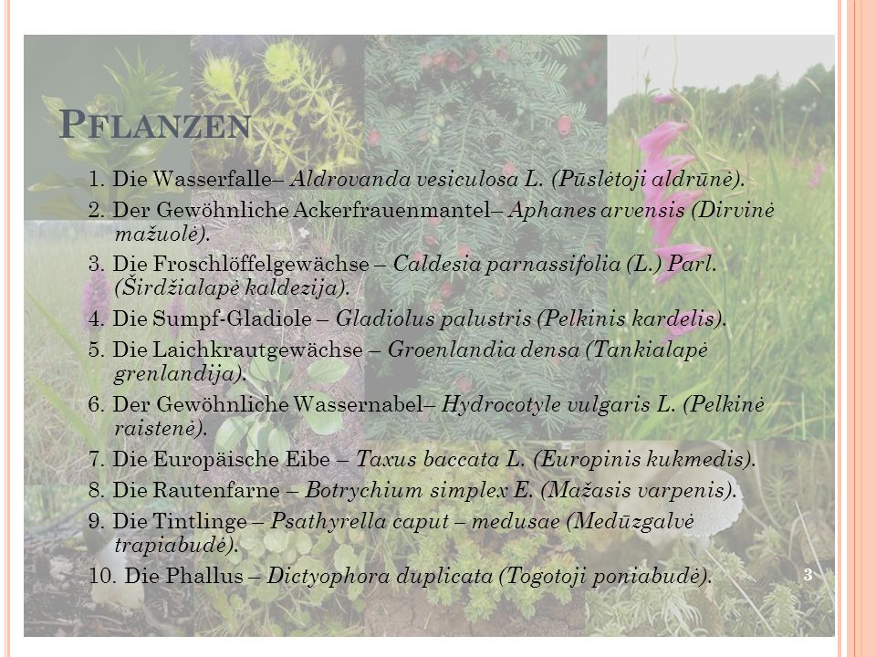 Pflanzen 1. Die Wasserfalle– Aldrovanda vesiculosa L. (Pūslėtoji aldrūnė).
