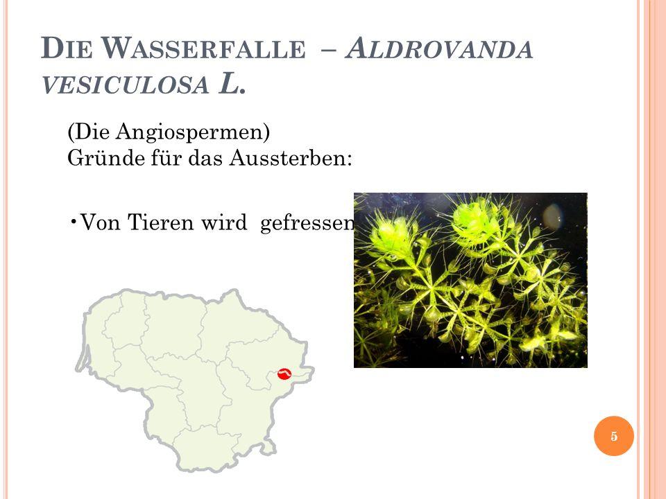 Die Wasserfalle – Aldrovanda vesiculosa L.