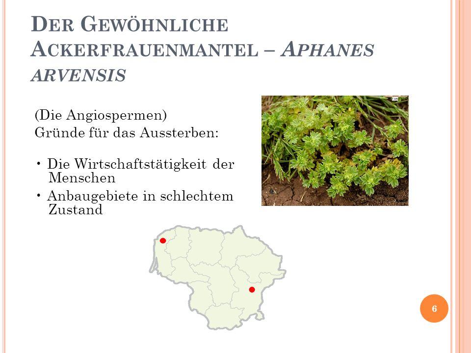 Der Gewöhnliche Ackerfrauenmantel – Aphanes arvensis