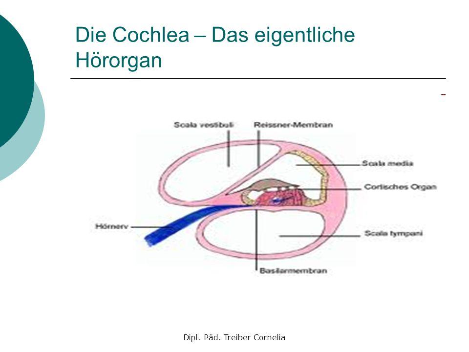 Die Cochlea – Das eigentliche Hörorgan