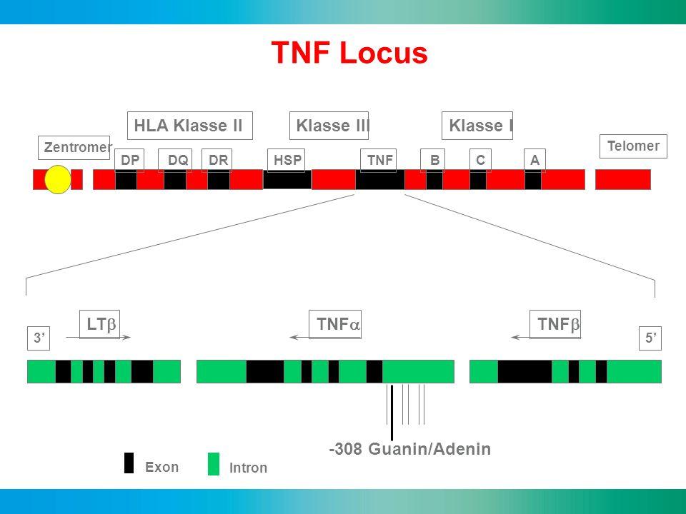 TNF Locus Chromosom 6 HLA Klasse II Klasse III Klasse I LTb TNFa TNFb