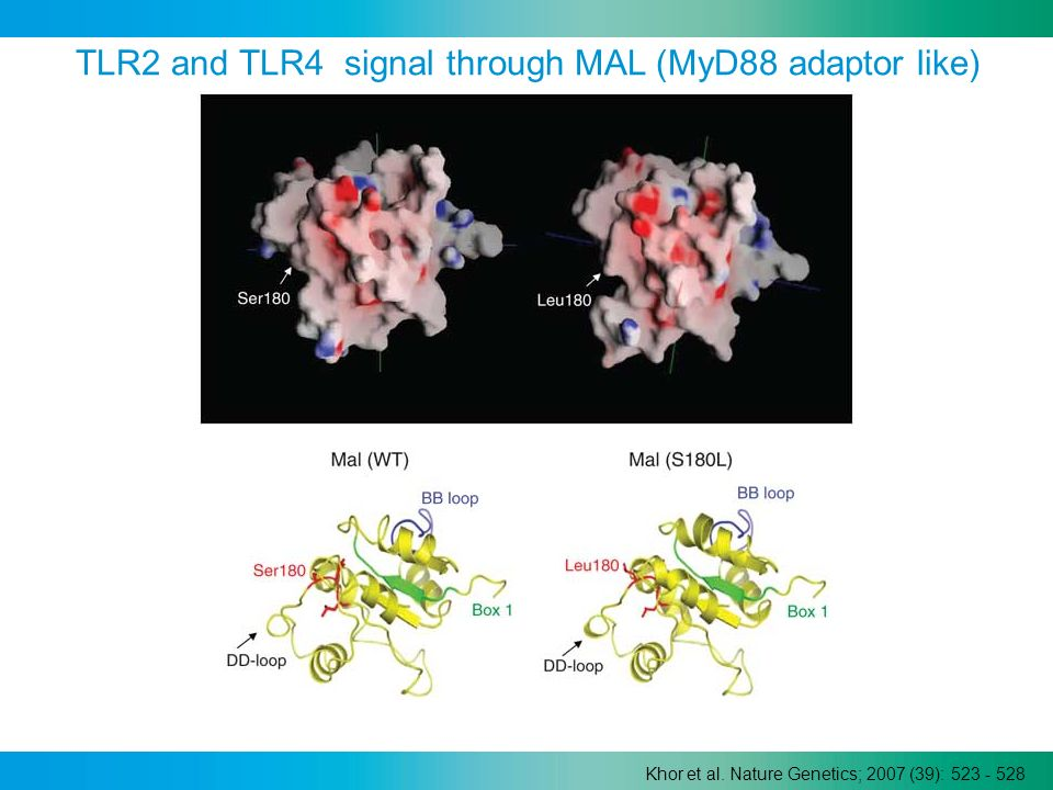 TLR2 and TLR4 signal through MAL (MyD88 adaptor like)