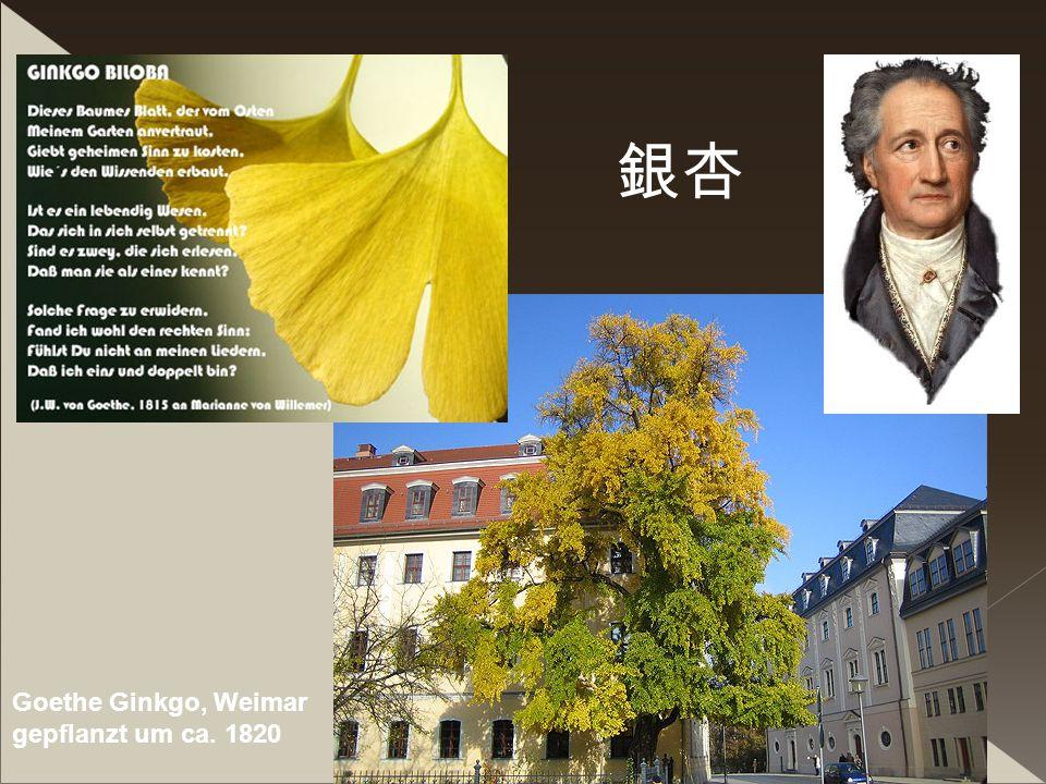 銀杏 Goethe Ginkgo, Weimar gepflanzt um ca. 1820