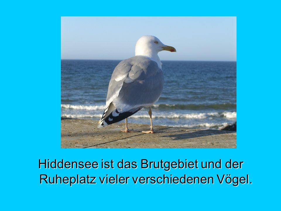 Hiddensee ist das Brutgebiet und der Ruheplatz vieler verschiedenen Vögel.