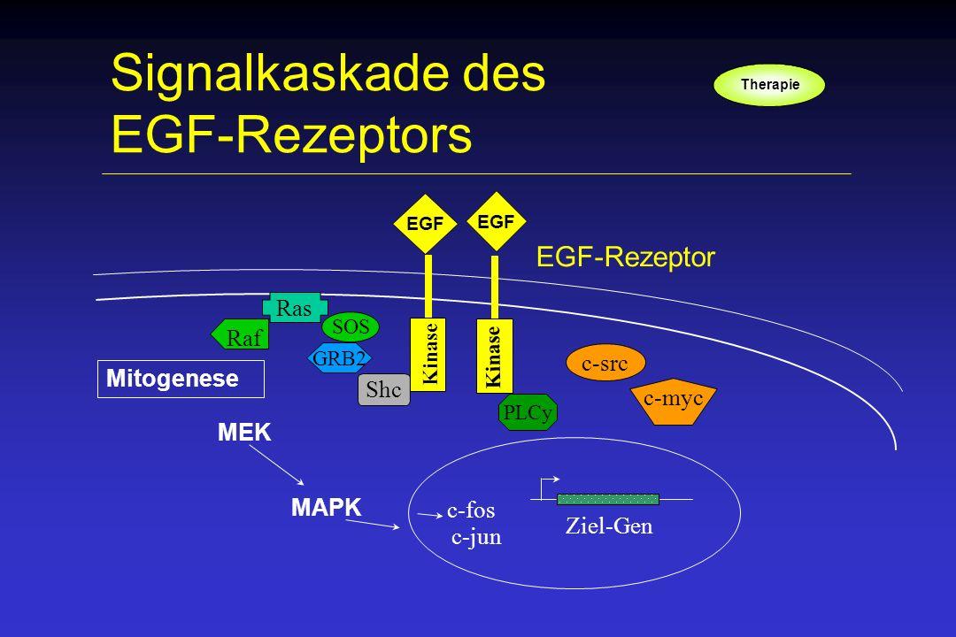 Signalkaskade des EGF-Rezeptors