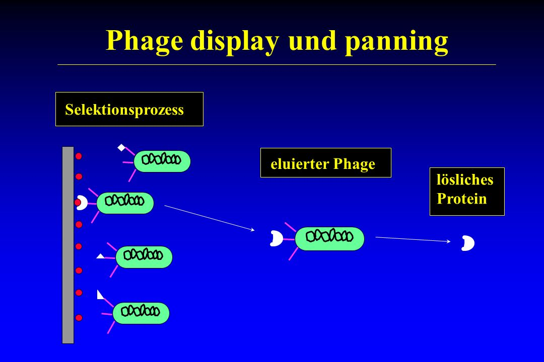 Phage display und panning