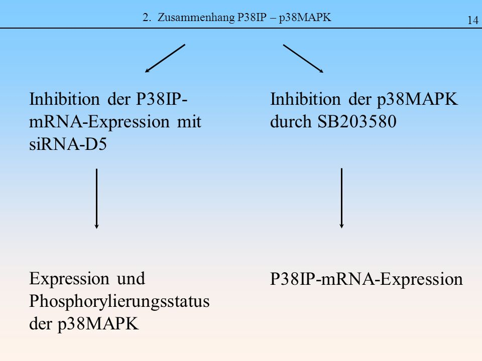 2. Zusammenhang P38IP – p38MAPK