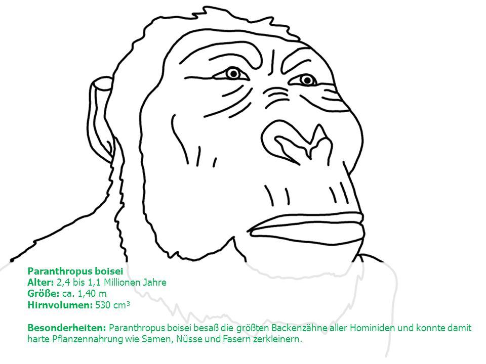 Paranthropus boisei Alter: 2,4 bis 1,1 Millionen Jahre Größe: ca