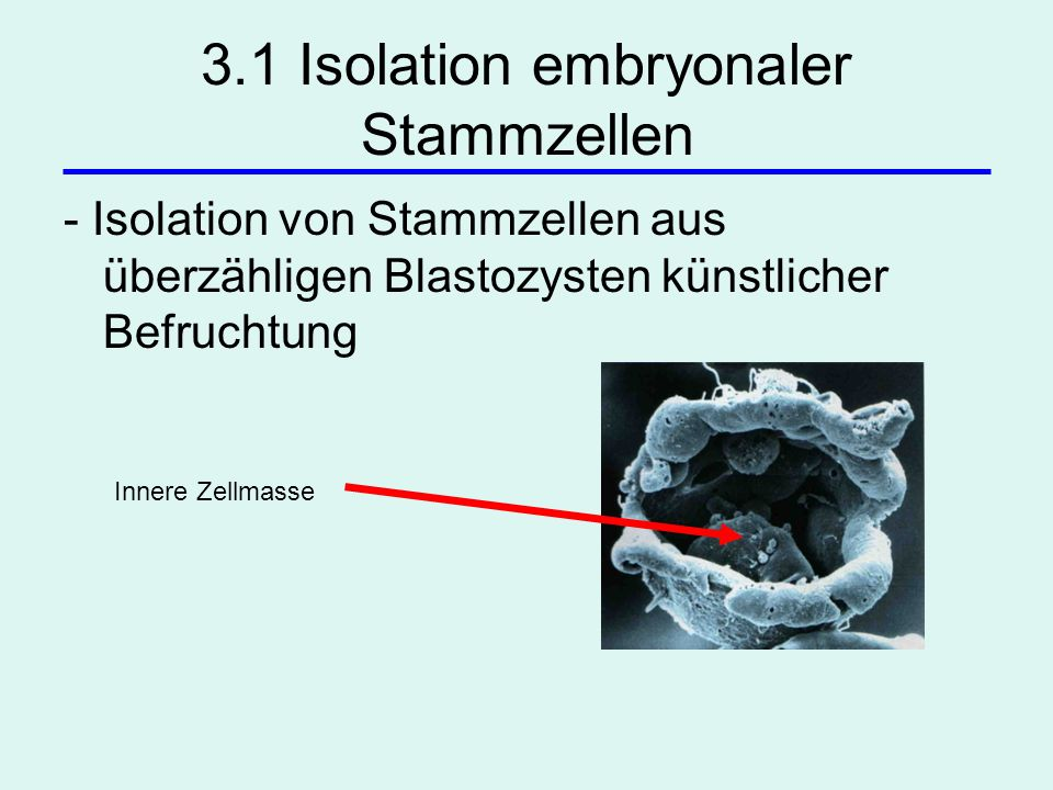 3.1 Isolation embryonaler Stammzellen