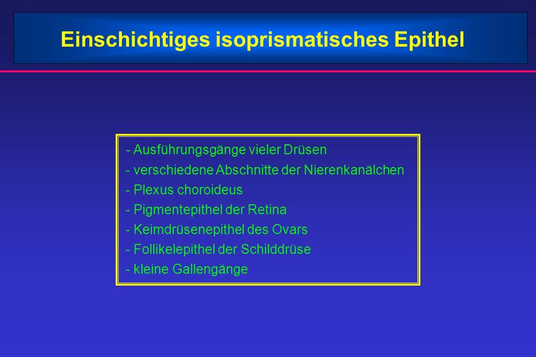 Einschichtiges isoprismatisches Epithel