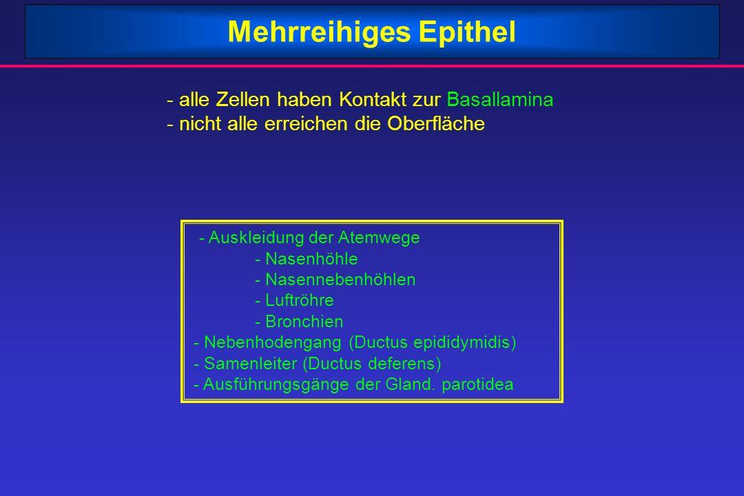 Mehrreihiges Epithel - alle Zellen haben Kontakt zur Basallamina