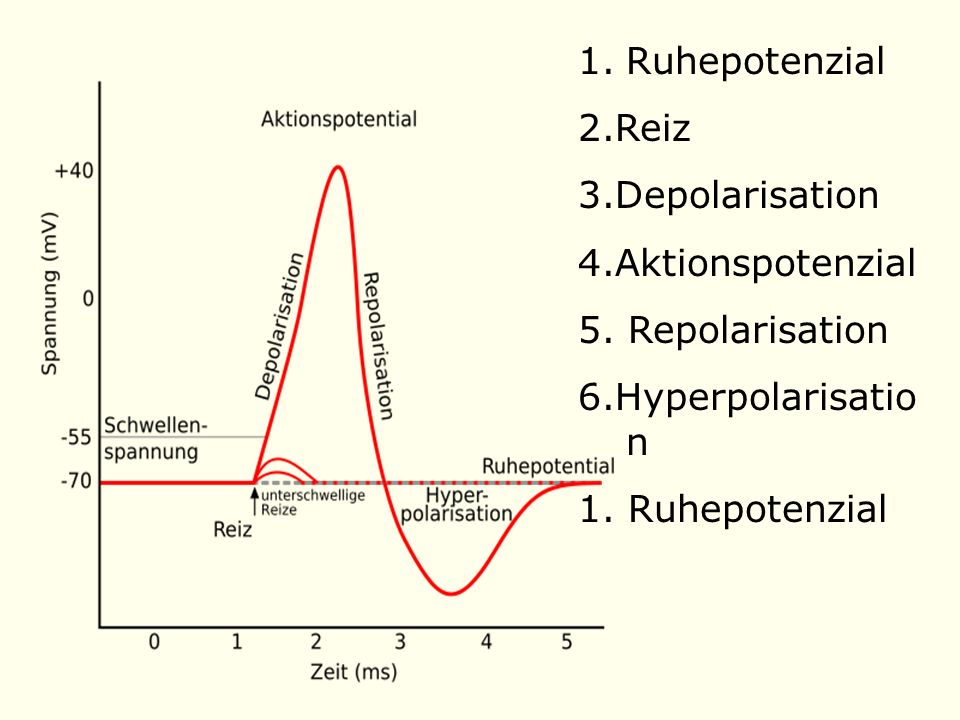 Ruhepotenzial 2.Reiz. 3.Depolarisation. 4.Aktionspotenzial. 5. Repolarisation. 6.Hyperpolarisation.