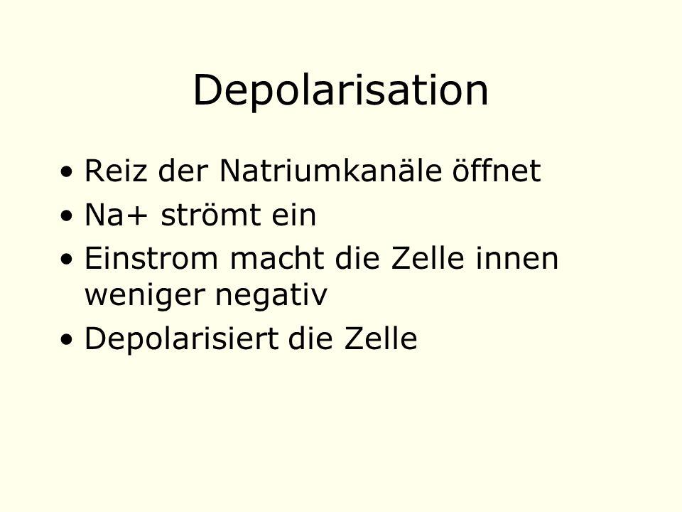 Depolarisation Reiz der Natriumkanäle öffnet Na+ strömt ein