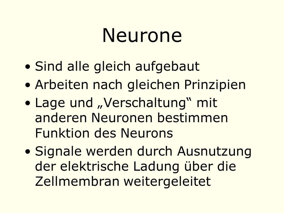 Neurone Sind alle gleich aufgebaut Arbeiten nach gleichen Prinzipien