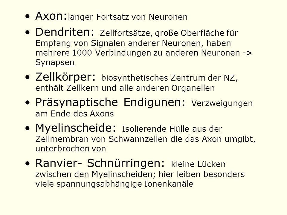 Axon:langer Fortsatz von Neuronen