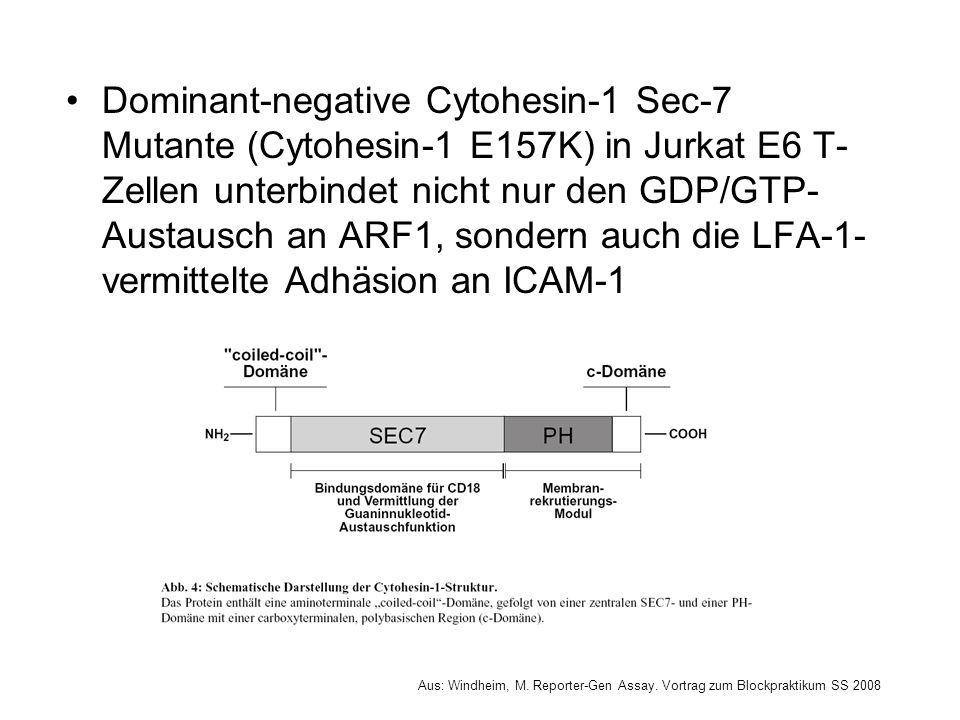 Dominant-negative Cytohesin-1 Sec-7 Mutante (Cytohesin-1 E157K) in Jurkat E6 T-Zellen unterbindet nicht nur den GDP/GTP-Austausch an ARF1, sondern auch die LFA-1-vermittelte Adhäsion an ICAM-1