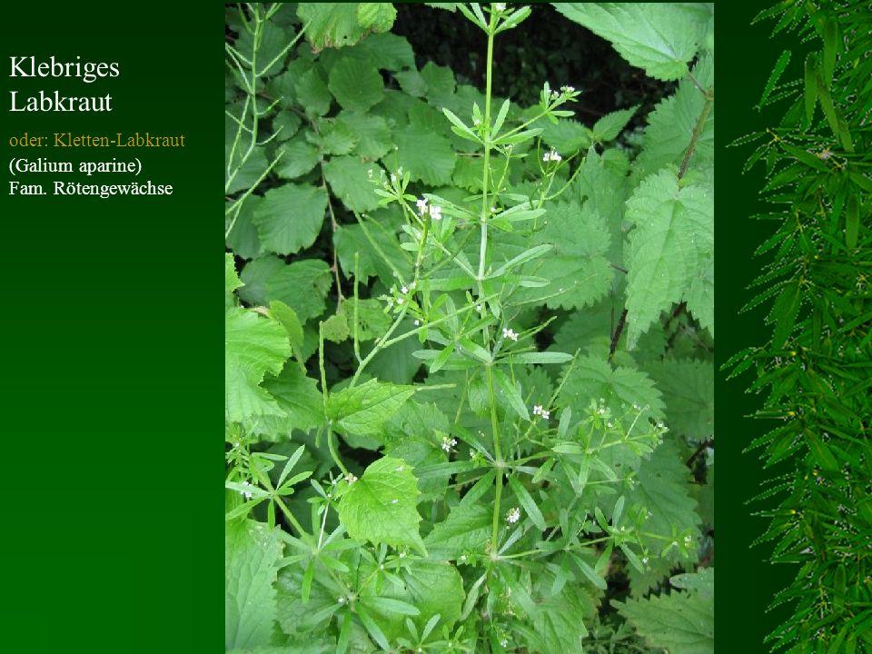 Klebriges Labkraut oder: Kletten-Labkraut (Galium aparine) Fam