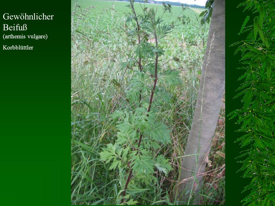 Gewöhnlicher Beifuß (arthemis vulgare)