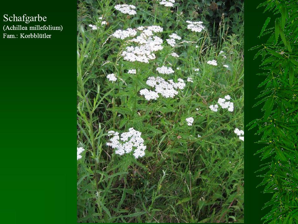 Schafgarbe (Achillea millefolium) Fam.: Korbblütler