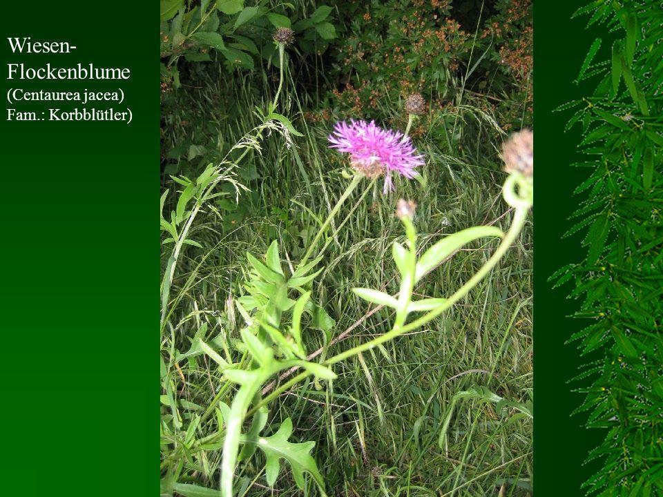 Wiesen-Flockenblume (Centaurea jacea) Fam.: Korbblütler)
