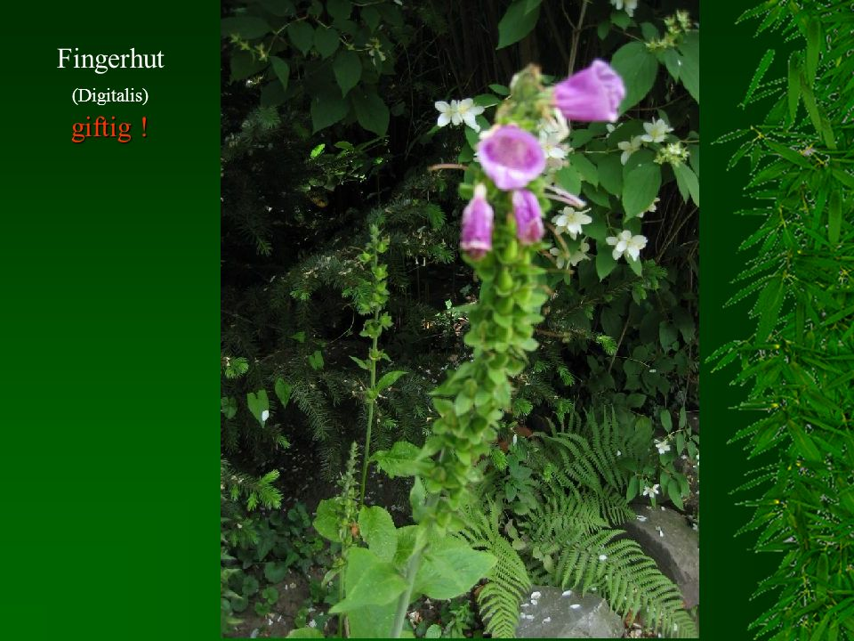 Fingerhut (Digitalis) giftig !
