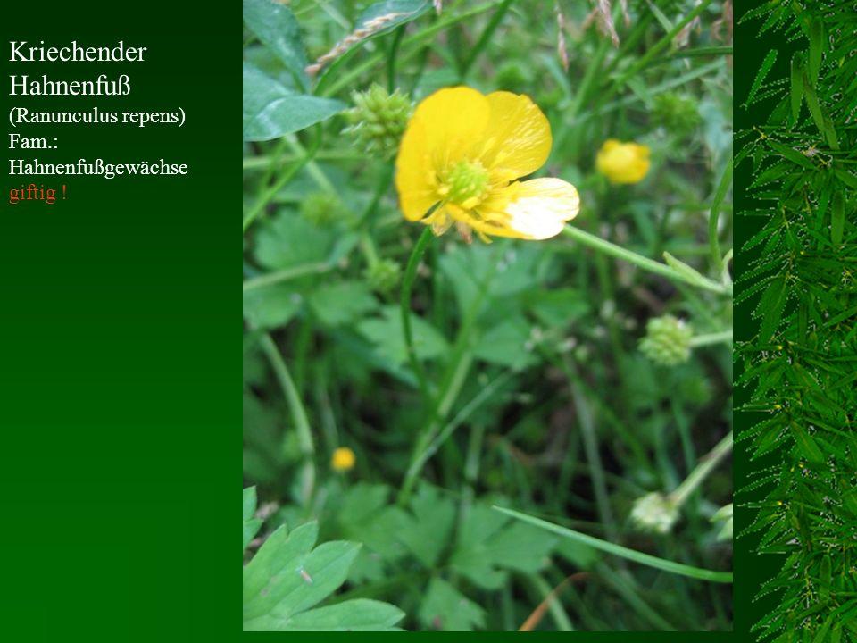 Kriechender Hahnenfuß (Ranunculus repens) Fam