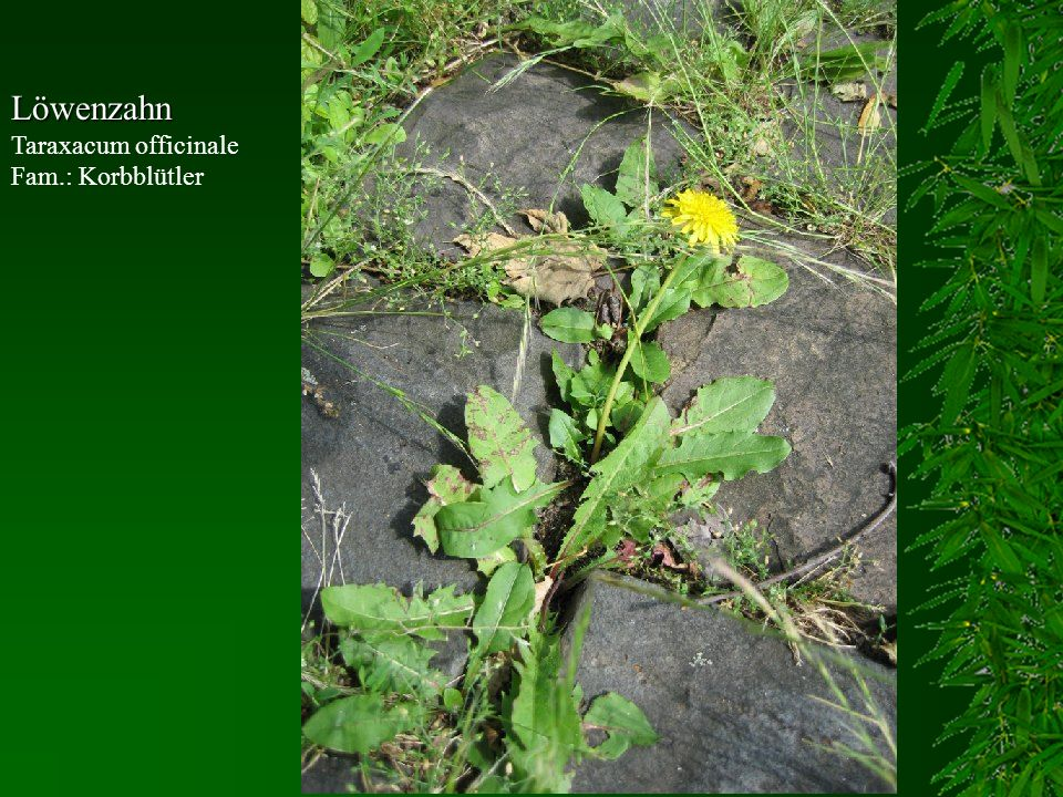 Löwenzahn Taraxacum officinale Fam.: Korbblütler