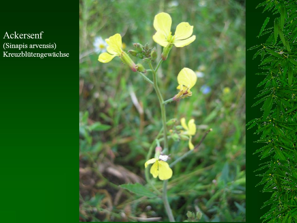 Ackersenf (Sinapis arvensis) Kreuzblütengewächse