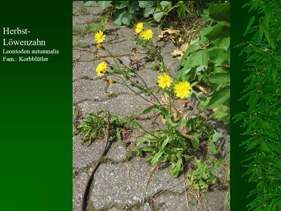 Herbst-Löwenzahn Leontodon autumnalis Fam.: Korbblütler
