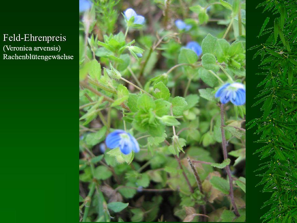 Feld-Ehrenpreis (Veronica arvensis) Rachenblütengewächse
