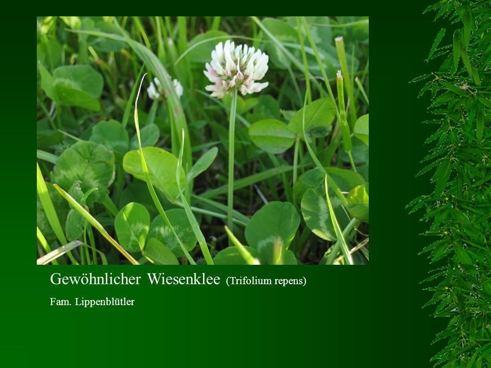 Gewöhnlicher Wiesenklee (Trifolium repens)