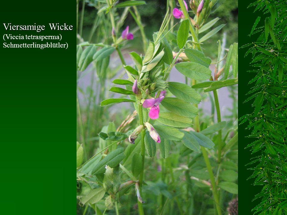 Viersamige Wicke (Viccia tetrasperma) Schmetterlingsblütler)