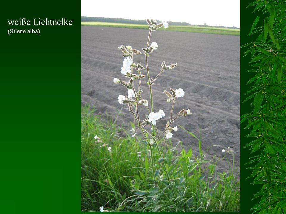 weiße Lichtnelke (Silene alba)